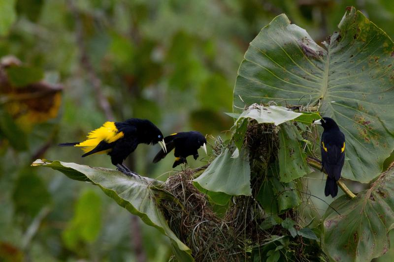 Cacicus Cela Birds In Ecuador